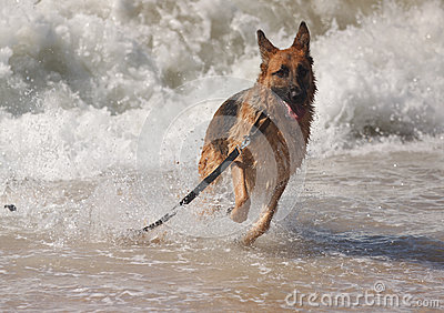 Pedigree German Shepherd Dog Ocean Waves