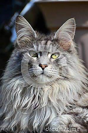 Free Pedigree Maine Coon Cat Royalty Free Stock Image - 23997526
