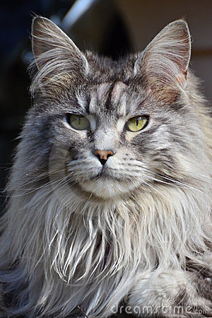 Free Pedigree Maine Coon Cat Royalty Free Stock Photography - 23997667