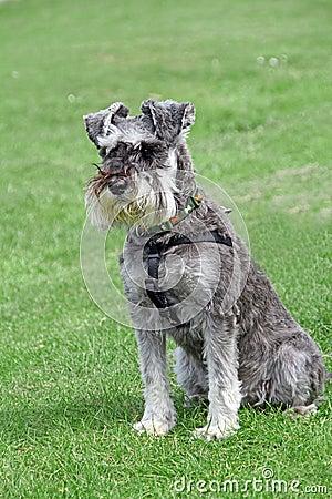 Free Pedigree Miniature Schnauzer Dog Pose Stock Photos - 40406863