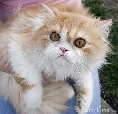 Pedigree persian cream cat outdoors