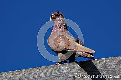 Pedigree pigeons1