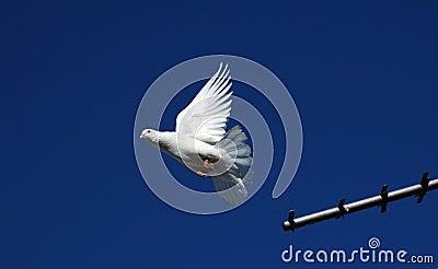 Pedigree pigeons3