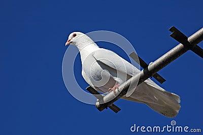Pedigree pigeons53