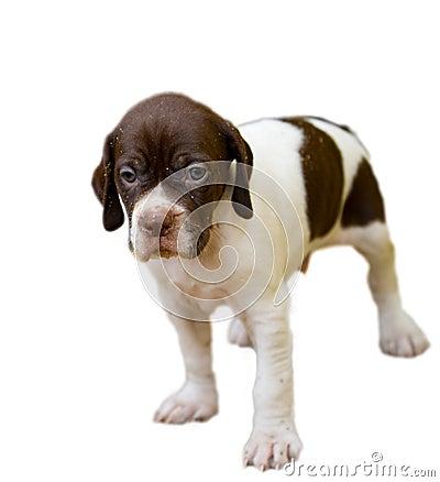 Free Pedigree Pointer Dog Puppy Stock Photos - 24392033
