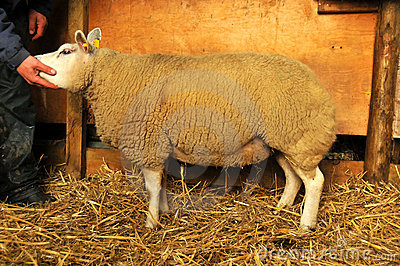 Pedigree Sheep