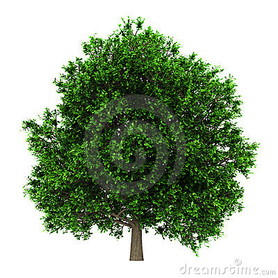Pedunculate oak tree isolated on white