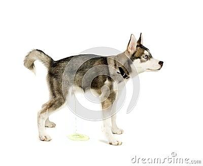 Peeing puppy