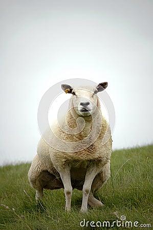 Peeing Sheep