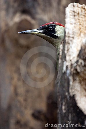 Peek-a-boo Green Woodpecker (Picus viridis)