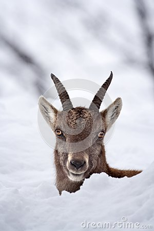 Peek-a-boo juvenile alpine ibex in the snow
