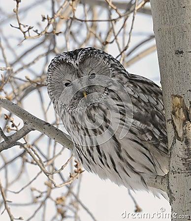 Peek-a-Boo Ural Owl
