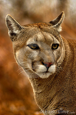 Peeking Cougar
