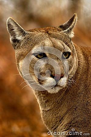 Free Peeking Cougar Royalty Free Stock Images - 130999