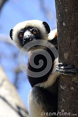 Peeking lemur