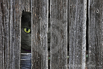 peeking cat in barn wood hole