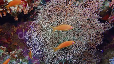 Peitsche Unterwasserspeisung in Ägypten stock footage