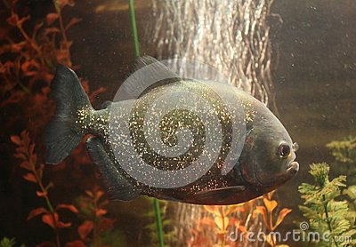 Peixe-piranha