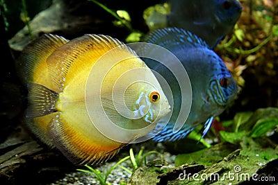 Peixes alaranjados e azuis do disco