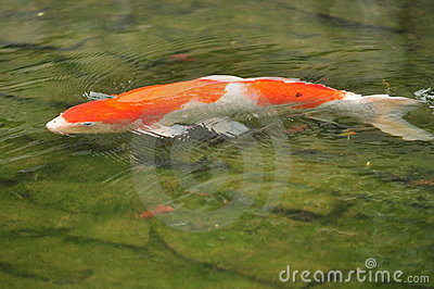 Peixes da carpa de Koi