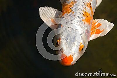Peixes de Koi