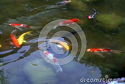 Peixes dourados