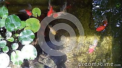 Peixes dourados em lagoa de água fresca com plantas e pedras verdes,Colorido da vida,Peixes Koi Carps Japoneses nadando lindos tr video estoque