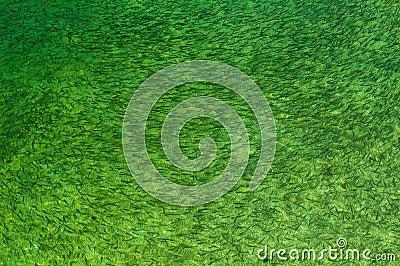 Peixes em de água doce verde
