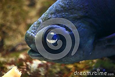 Peixes grandes do olho