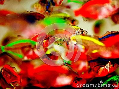 Peixes tropicais do brilho