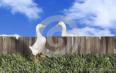 Pekin Ducks Talking over Fence