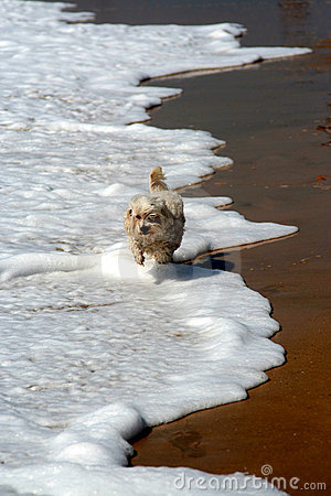 Pekinese dog running on beach ocean waves