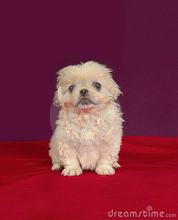 Pekinese puppy sit
