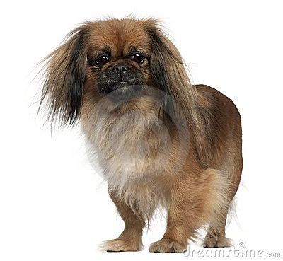 Pekingese, 2 and a half years old, standing