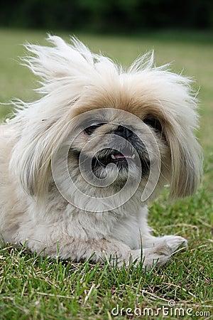 Free Pekingese Dog Close-up Royalty Free Stock Photos - 5454358