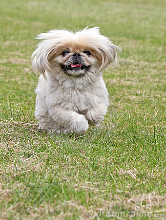 Pekingese dog running