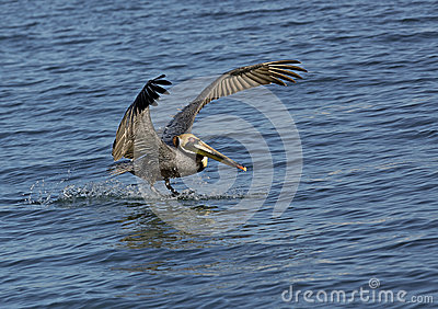 Pelícano de Brown (occidentalis de Pelicanus)