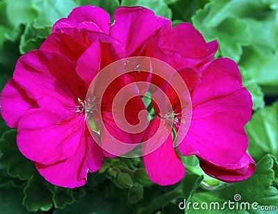 Pelargonium Americana Cherry Rose