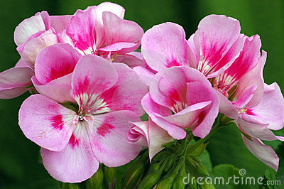 Pelargonium  Americana Light Pink Splash
