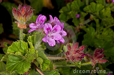 Pelargonium flower afrter rain
