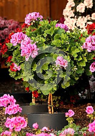 Free Pelargonium Plant On The Stalk Stock Photo - 19388210
