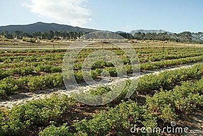 Pelargonium plants on an South African farm