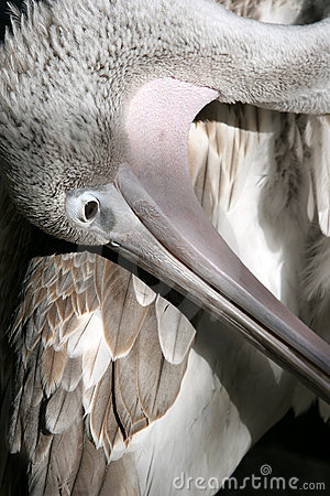 Free Pelican Stock Image - 102461