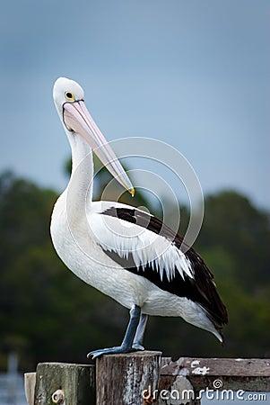 Free Pelican Stock Image - 10297341
