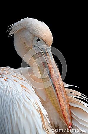 Free Pelican Stock Image - 13161271