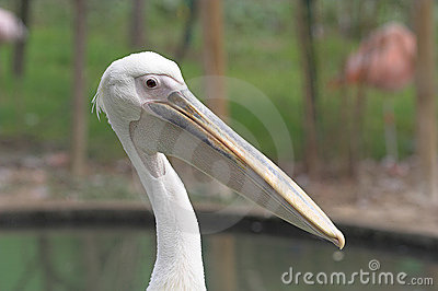 Pelican Stock Photo - Image: 1642480