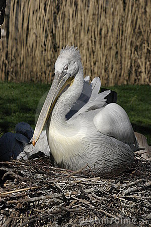 Free Pelican Stock Images - 2096854