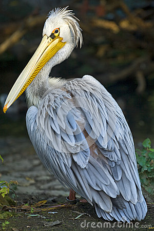 Free Pelican Royalty Free Stock Images - 27274759