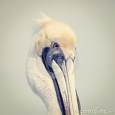 Free Pelican Stock Photography - 37642492