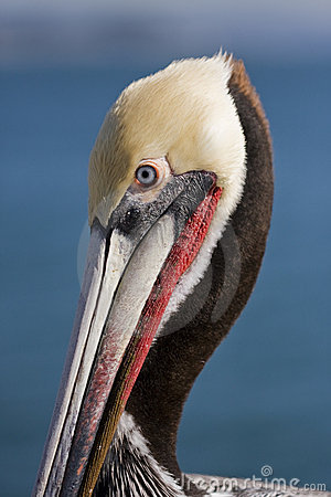 Free Pelican Royalty Free Stock Photography - 4292677